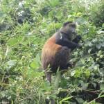 Trek through Volcanoes National Park to view the Golden Monkeys.
