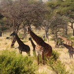 Giraffes grazing in the Serengeti.