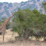 See giraffes, hippos, zebra and other wildlife on a day trip to Akagera National Park.