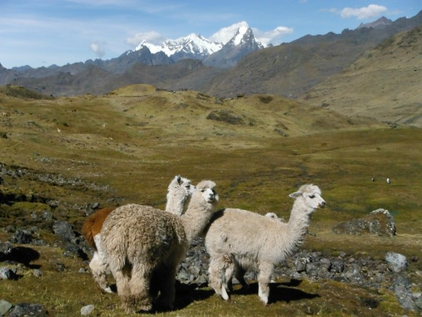 Alpaca in Rural Peru Hike for Teens