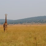 See giraffes, hippos, zebras, and more on a day trip to Akagera National Park!