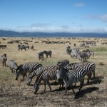Tarangire National Park and Ngorogoro Crater have tens of thousands of animals in mid-migration.
