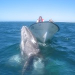 Gray whales come to the warm waters to reproduce and give birth.  Sometimes they even come up to the boat and let people scratch their chins!  The Sea of Cortez is also home to…