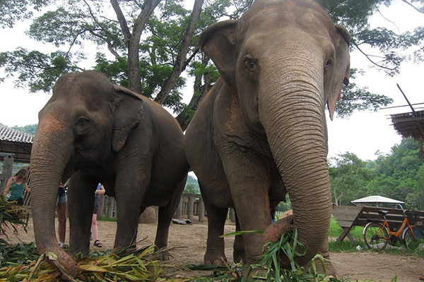 Students visit an elephant conservation center on our cultural exploration program in Thailand, Laos, and Cambodia